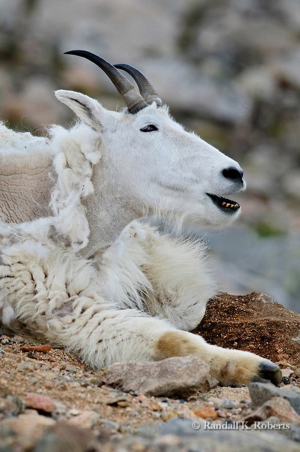 Mountain goat (Oreamos Americanus) enjoys the cool temperatures of Mt Evans, Colorado