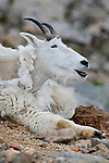 Mountain goat (Oreamos Americanus) enjoys the cool temperatures of Mt Evans, Colorado