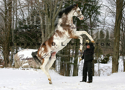 Puchilingui (Native Royalty) at age 23 at Jerry and Nancy Tyler's Double Tree Paint Farm, Cadillac, MI