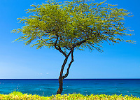 A kiawe tree in front of an almost cloudless blue sky and ocean, Hapuna, Big Island.