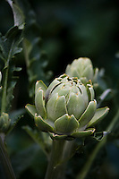 Flowerbuds and leaves of Globe artichoke plants (Cynara cardunculus).