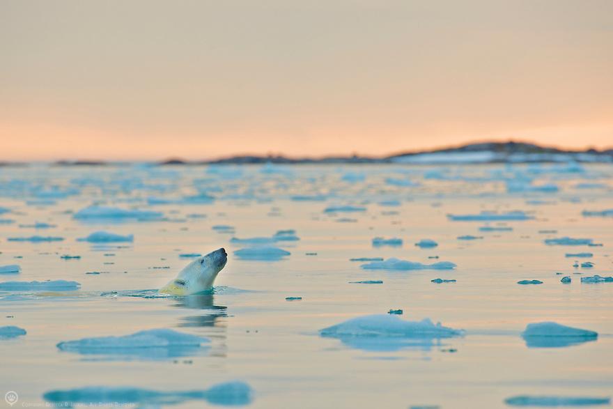 Polar bear enjoying a midnight swim in Smeerenburgfjorden, Spitsbergen, Svalbard.
