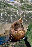 Bull Sea Lion, The Needle, Prince William Sound, Alaska