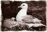 Northernn fulmar and chick