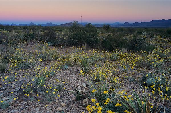 Wildflowers at dawn, Parralena Desert Marigold, Big Bend National Park,Texas, USA