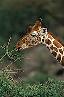 Reticulated Giraffe browsing on an Acacia tree (Giraffa camelopardalis reticulata), Samburu, Kenya.