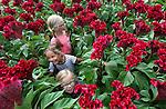 Foto: VidiPhoto<br /> <br /> TUIL - Onverwachte hulp voor bloemenkweker Rijk de Jongh uit Tuil bij Waardenburg woensdag. Buitenspelen is er voor Anne (8), Eva (6) en Roos (4) niet bij vanwege het natte weer, maar gelukkig heeft oom Rijk een grote kas vol met bloemen en kan hij wel een paar handjes extra gebruiken. Op dit moment wordt de exclusieve Celosia Turbo geoogst, een reuzenbloem van ruim anderhalve meter hoog en een bloem zo groot als een kinderhoofd. Voor de nichtjes van de Tuilse kweker is het net een doolhof. De Jongh is de enige kweker in Nederland met deze bijzondere soort, die enorm gewild is als blikvanger in hotellobby's en ook veel aan rijke consumenten in het buitenland verkocht wordt. Omdat vandaag de Russische grenzen officieel gesloten worden voor de Nederlandse bloemensector, moet rijke Russen ze via een omweg zien te bemachtigen. Bloemenkwekers verwachten door de boycot dalende prijzen op de bloemenveilingen. Nederlandse bloemen en planten zijn namelijk zeer populair in het voormalige Oostblok.