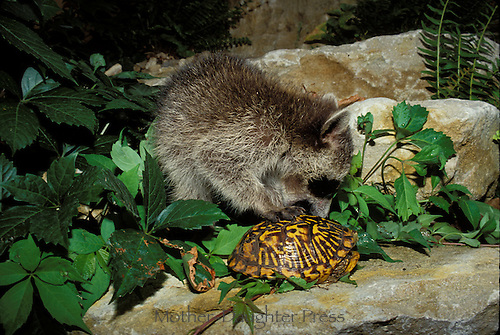 I am not here: A raccoon (Procyon lotor) attempts, unsuccessfully, to open the shell of an Ornate box turtle (Terrapene carolina) for food, [see series], Missouri USA