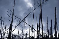 Silhouette of barren forest, Scotland