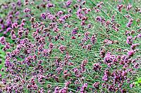 Verbena bonariensis flower.