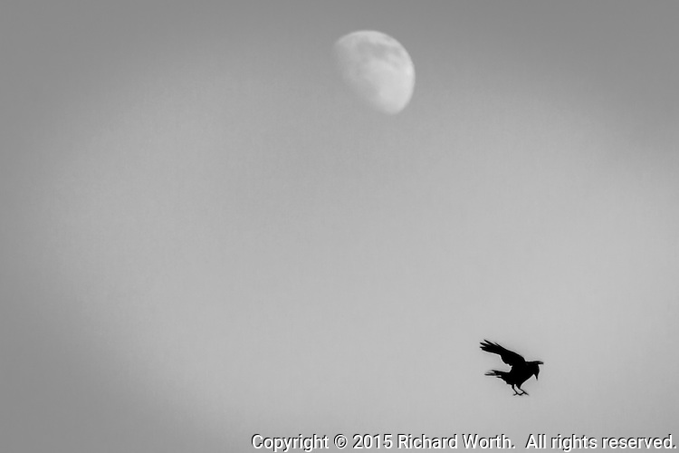 A crow, feet spread and ready to land, with a gibbous moon overhead.