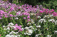 Phlox paniculata naturalized in Pennsylvania