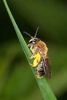 Rotschopfige Sandbiene, Sand-Biene, Andrena haemorrhoa, syn. Andrena albicans, Weibchen mit Pollen an den Beinen, Pollenhöschen, Andrenidae, Sandbienen, mining bees, burrowing bees, mining bee, burrowing bee