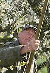Foto: VidiPhoto<br /> <br /> HERVELD - In een wirwar van bloesemtakken proberen fruitteler Toon Vilier en zijn snoeimaat  Theo Meurs (foto) maandag dode takken te verwijderen uit de pruimenbomen. De oude bomen op het perceel in Herveld in de Betuwe moeten ieder jaar flink uitgedund worden om nog een goede oogst aan wijnpruimen te kunnen geven. Dat gebeurt nog op de ouderwetse wijze met een lange snoeizaag. De gepensioneerde 78-jarige Meurs heeft de bomen nog helpen planten en is al 55 jaar in de fruitteelt werkzaam. De pruimenbongerd in Herveld is het laatste stuk boomgaard van Viliers dat nog gesnoeid moet worden.