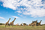 Giraffes (Giraffa camelopardalis) in a group in the Auob riverbed, Kgalagadi Transfrontier Park, Northern Cape, South Africa, February 2016