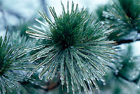 ICE&amp; WATER, FROST &amp; SNOW<br /> Ice coats Jack pine<br /> Harriman State Park, NY