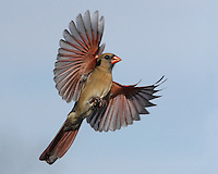 "This Northern Cardinal female's gonna ""Take Me Higher"" :)"