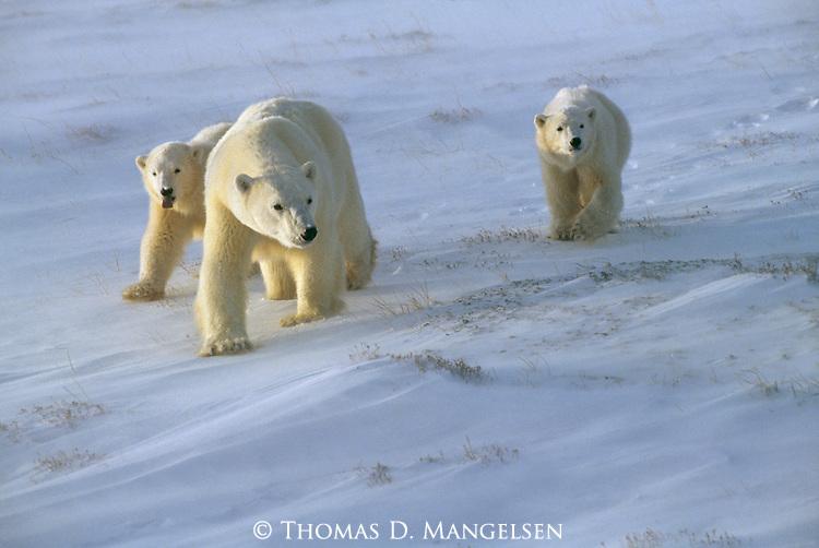 A polar bear family walks across the snow-covered grass in Churchill, Manitoba, Canada.