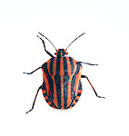 Graphosoma italicum, France