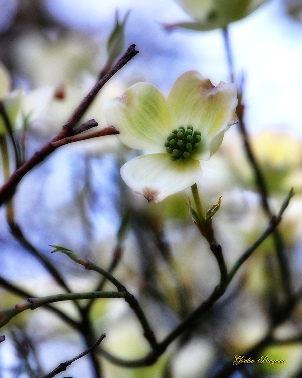 Detail of a single Dogwood blossom. Ortonized in Photoshop. Smoky Mountain photos by Gordon and Jan Brugman.