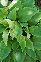 Hosta Whitewall Tires, variegated perennial foliage plant groundcover for shaded gardens