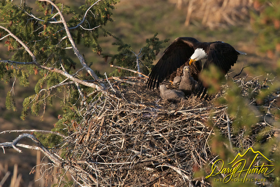 Male Bald Eagle leaving nest of chicks as on looks on ~ bye dad