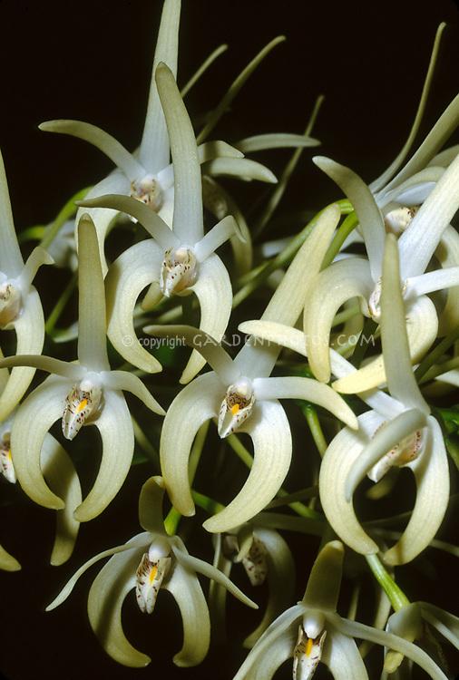 Dendrobium speciosum, Sydney Rock Orchid, native to Australia, aka Thelychiton