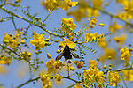 Carpenter Bee, Southern California
