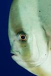 longfin spadefish: Platax teira aka longfin batfish, side on facial view, Tulamben, Bali