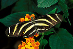Heliconius charitonius, Zebra Butterfly, with wings open showing yellow and black stripes, bands.Central America....