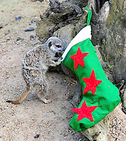NOV 21 Meerkats get ready for Christmas