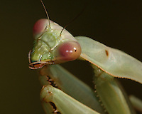 Several mantid species occur in Texas. The common name comes from the way nymph and adult mantids hold their front legs, which are designed for grasping prey and held as though in prayer.
