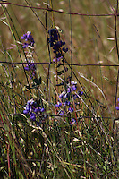 Lupine growing along a wire fence in Asti in Sonoma County in Northern California.