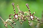 Scorpion Orchid, Arahnis flos-aeris, Panama, Central America, Gamboa Reserve, Parque Nacional Soberania