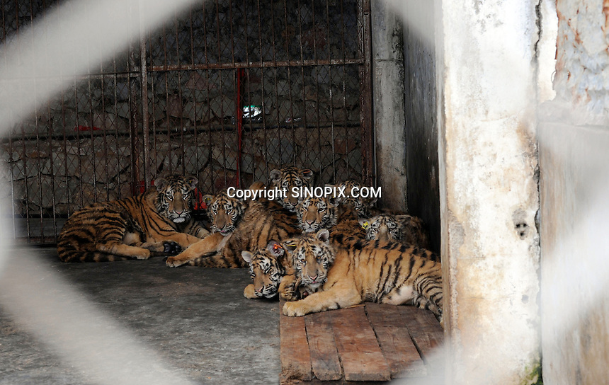 One year old cubs at the Xongshen Bear and tiger prk in Guilin, China. The park has farmed 1500 tigers and sells an illegal tiger bone wine to tourists that visit the park.