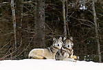 Pair of grey wolves lying on a snowy knoll, Canada