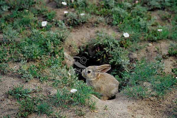 many animals use old prairie dog burrows for dens or as hiding places