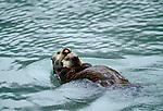 Sea otter and pup, Alaska, USA