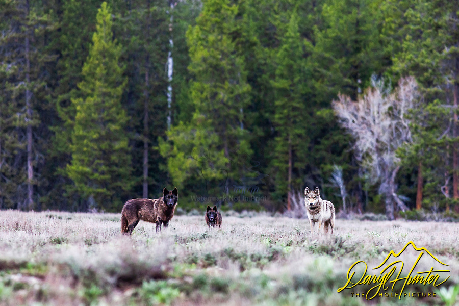 Three wolves of the Pacific Creek Pack that roams Grand Teton National Park. They are  sizing up photographer pondering upon the taste. Moments before this, these wolves were hunting and chasing a cow elk but after seeing me sitting in the sagebrush they though they might have found an easier meal.