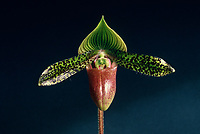 Paphiopedilum sukhakulii (Orchid species). Native to Thailand. Warts, stripes, green and pnk and black colors