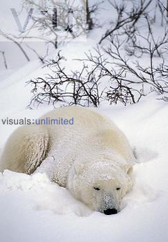 Polar Bear sleeping in the snow (Ursus maritimus), North America.