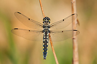 389330001 a wild female hoary skimmer libellula nodisticta perches on a dead twig near fish slough mono county california united states