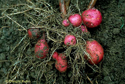 HS05-040a  Potato - red potatoes growing underground