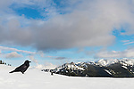 A lone raven sits on Hurricane Ridge in Olympic National Park, maybe sensing that spring is on the way. Still, many more feet of snow could arrive before then.