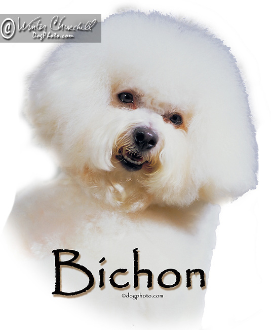 Bichon Frise This design is offered on gift merchandise ONLY.<br /> <br /> You'll find all the merchandise options listed IN THE CART so add a design to your shopping cart first. All merchandise item are shipped straight to you from our lab in Dallas, Tx.