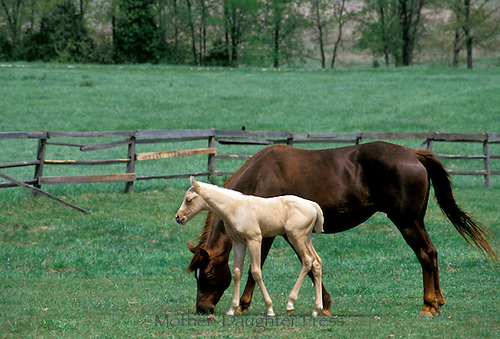 Registered quarter horses, mother with newborn foal