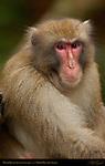 Minoh Monkey