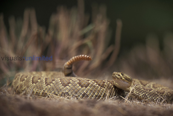 Green Mohave Rattlesnake (Crotalus scutulatus), California, USA