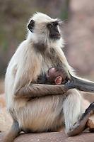 Indian Langur monkeys, Presbytis entellus, female and baby feeding  in Ranthambore National Park, Rajasthan, India