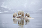 Polar bears (Ursus maritimus) feeding on dead whale, Svalbard, Norway..September 09..Camera details in camera data 1